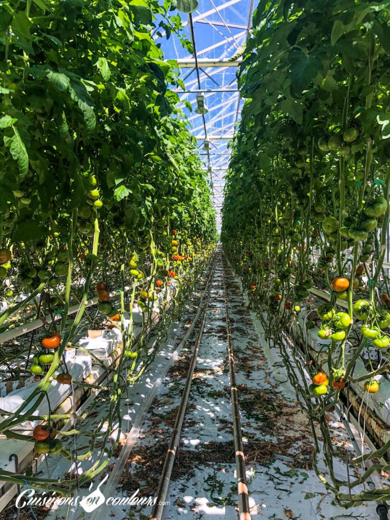 Que Planter En Octobre Sous Serre serres ouvertes, découvrez la culture sous serre des tomates