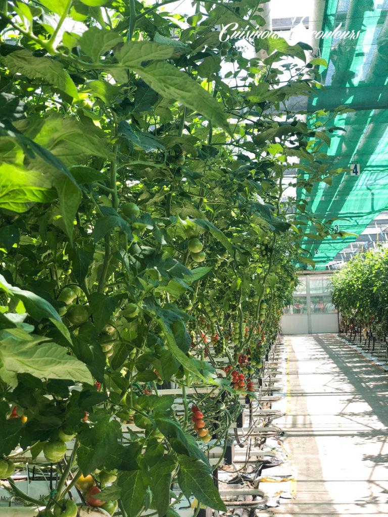 serres-ouvertes-4-768x1024 - Serres Ouvertes, découvrez la culture sous serre des tomates et concombres de France les 24 et 25 mai prochains